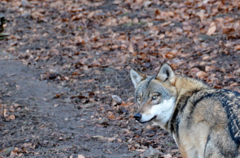 Polizei : Toter Wolf im Spreewald